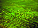 Healthy Eelgrass plants off of Nahant, Massachusetts'