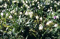 Märzenbecher, Märzbecher, Märzen-Becher, März-Becher, Frühlings-Knotenblume, Knotenblume, Leucojum vernum, Spring Snowflake