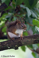 0705-1002  Red Squirrel, Tamiasciurus hudsonicus  © David Kuhn/Dwight Kuhn Photography