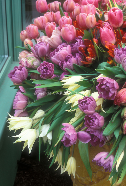 Spring Tulip bulbs mixture of types and colors in pot container garden, including parrot tulips, Darwin, lily-flowered, in pink, cream, lavender, orange and red, in terracotta container