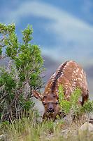 Young Rocky Mountain Elk Calf (Cervus canadensis nelsoni).  Northern Rockies, June.