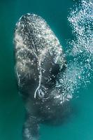 gray whale, Eschrichtius robustus, calf blowing bubbles, San Ignacio Lagoon, Baja California Sur, Mexico, Gulf of California, Sea of Cortez, Pacific Ocean