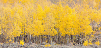 Aspen near Twin Lakes - on the way to Independence Pass