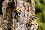 Saw-whet owlets in tree cavity