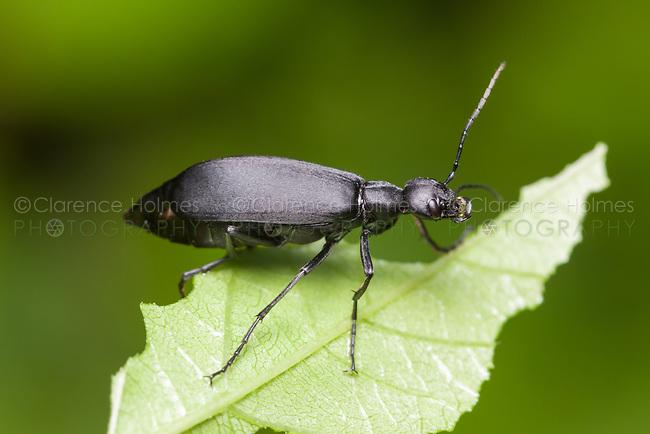 Black Blister Beetle (Epicauta pennsylvanica)