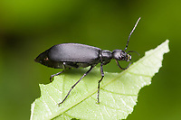 Black Blister Beetle (Epicauta pennsylvanica)