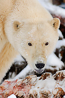 polar bear, Ursus maritimus, with a bowhead whale, Balaena mysticetus, carcass on the pack ice, 1002 area, Arctic National Wildlife Refuge, Alaska, polar bear, Ursus maritimus
