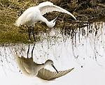 Egret reflected in water while it preens by Jock Elliott