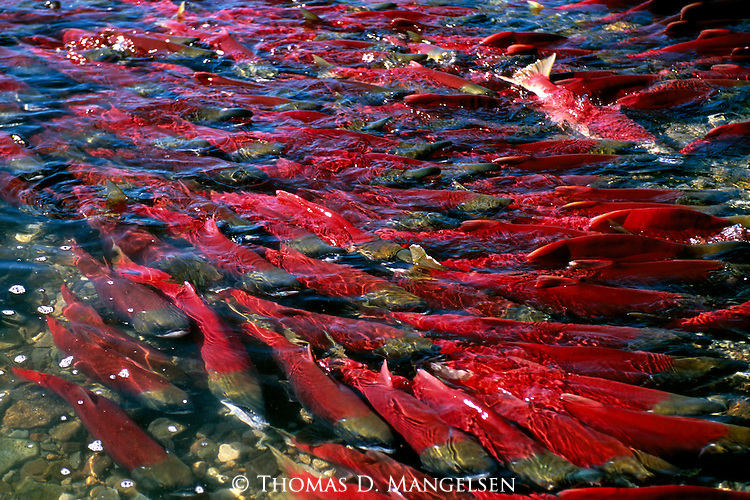 Crystal clear waters of Funnel Creek, on the Alaska Peninsula, reveal a school of sockeye, or red, salmon who have not yet reached their spawning grounds.