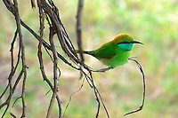 (Little)Green-Bee-eater (Merops orientalis)Yala National Park, Wildlife, Sri Lanka