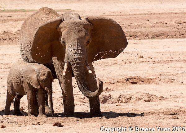 Elephants at the Water Bore Hole   Keyna 2015
