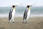 A pair of king penguins (Aptenodytes patagonicus) walking along a wind swept beach. St Andrews Bay, South Georgia, South Atlantic.