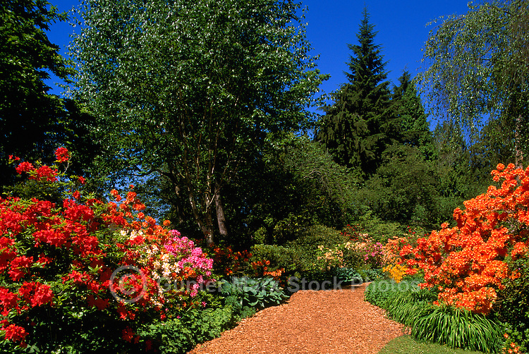 Rhododendrons blooming along Garden Path Stanley Park, Vancouver, BC, British Columbia, Canada - Spring / Summer