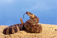 Northern Pacific Rattlesnake (Crotalus viridis oreganus). British Columbia..