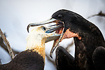 """Open wide!  A seabird looks like it's getting a close-up dental checkup on the North Seymour Island in the Galapagos.<br /> <br /> The frigate chick on the left is in fact feeding on fish caught by its mother, who regurgitates what she has caught into her youngs mouth.  The peculier sight was captured by Wildlife photographer Leighton Lum of Aiea, Hawaii.<br /> <br /> Leighton said, """"The chick sticks his head into the mum's mouth to reach the fish, because there are other brids around looking to steal a quick meal.""""<br /> <br /> """"The chick is only about 3-4 weeks old - just a little larger than a football.  This was a nesting area where they wait for their parents to come back and feed them.  The female will remain with their young for 6-7 months.""""<br /> <br /> Please byline: Leighton Lum/Solent News<br /> <br /> © Leighton Lum/Solent News & Photo Agency<br /> UK +44 (0) 2380 458800"""