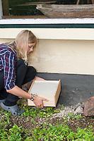 Sandkasten, Sandangebot, mit Sand gefüllte Holzkiste für die Ansiedlung von Ameisenlöwe, Ameisenlöwen, Ameisenlöwen-Hilfe unter einem regengeschützten Hausvorsprung. Sandpits, sandy offer, sand for the settlement of antlion, antlions, antlion's help under a rain-protected house projection. Ameisenjungfern, Myrmeleontidae