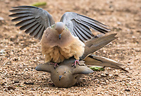 A pair of Mourning Doves, Zenaida macroura, mate in the Desert Botanical Garden, Phoenix, Arizona