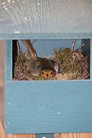 Rotkehlchen, brütet im Nistkasten, Halbhöhle, Halbhöhlenkasten, Nest, Erithacus rubecula, robin, European robin, robin redbreast, nest, Le Rouge-gorge familier
