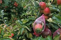Europe/France/Normandie/Basse-Normandie/14/Calvados/Env. de Honfleur/La Rivière-Saint-Sauveur: Mr Alleaume récolte ses pommes dans la bouteille qui sera ensuite remplie de calvados