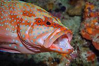 coral grouper or coral cod, Cephalopholis miniata, getting its mouth cleaned by a cleaner shrimp, Urocaridella sp., South Ari Atoll, Maldives, Indian Ocean