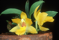 Promenaea xanthina orchid species native to Brazil, miniature plant with two yellow and red flowers, in terracotta pot, showing plant habit, fragrant blooms