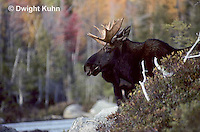 MS01-122z  Moose - bull (male) in Baxter State Park, Maine - Alces alces.