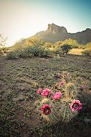 Pretty in Pink - Arizona - Cactus Bloom - Lost Dutchman Wilderness