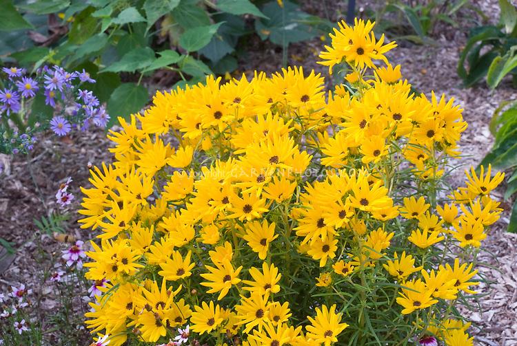 Helianthus salicifolius 'Low Down' + Aster laevis 'Bluebird' in fall flowers
