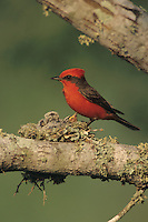 Vermillion Flycatcher, Pyrocephalus rubinus,male feeding young in nest, Lake Corpus Christi, Texas, USA
