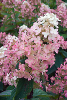 Hydrangea paniculata 'Pink Diamond' flower heads
