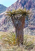 0317-1105  Mojave Yucca (Spanish Dagger), Mojave Desert and Great Basin, Yucca schidigera  © David Kuhn/Dwight Kuhn Photography