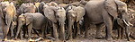 African bush elephant herd (Loxodonta africana), Mashatu Game Reserve, Botswana<br /> <br /> Canon EOS-1D X, EF70-200mm f/2.8L IS II USM lens, f/16 for 1/125 second, ISO 4000