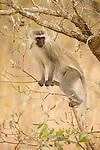 Vervet Monkey (Chlorocebus pygerythrus) female, Kruger National Park, South Africa