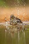 Long-billed Thrasher bathing