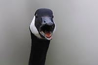 Close-up of adult Canada Goose (Branta canadensis) vocalizing. King County, Washington. April.