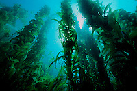 Giant kelp, Macrocystis pyrifera, forest, California, Pacific Ocean