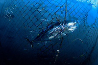 hundreds of southern bluefin tuna, Thunnus maccoyii, can be seen in background inside this holding pen, sharks inadvertantly chew their way into these pens as they feed on the carcasses of tuna, like this one caught in the netting, South Australia
