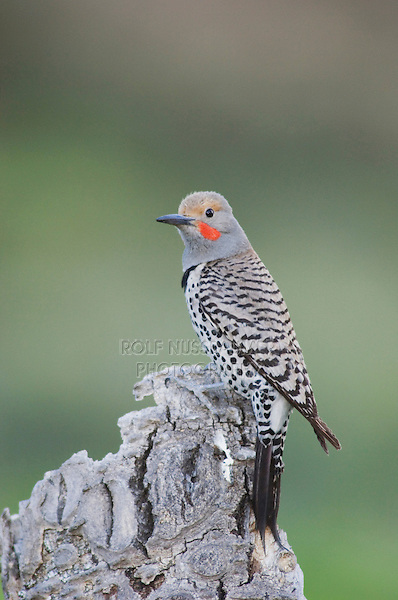 Northern Flicker,Colaptes auratus,Red-shafted form,male perched,Rocky Mountain National Park, Colorado, USA, June 2007