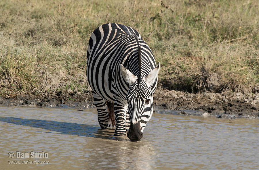 Grant's Zebras, Equus quagga boehmi, drinks from a pond in Ngorongoro Crater, Ngorongoro Conservation Area, Tanzania