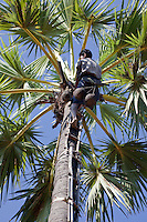 Myanmar, Burma, near Bagan.  Tapper Collecting the Jiuce from Nuts of the Toddy Palm (Sugar Palm, Borassus Flabellifer).