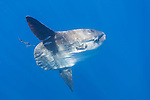 San Diego, California; an Ocean Sunfish, or Mola mola, swimming in the blue water of the Pacific Ocean