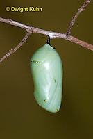 MO06-646z   Monarch Chrysalis - Danaus plexipuss.
