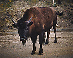 Young Bison on the dirt road. Image taken with a Nikon D300 camera and 18-200 mm VR lens.