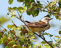Adult scissor-tailed flycatcher at nest site
