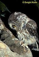 OW02-317z  Saw-whet owl - at nest cavity - Aegolius acadicus