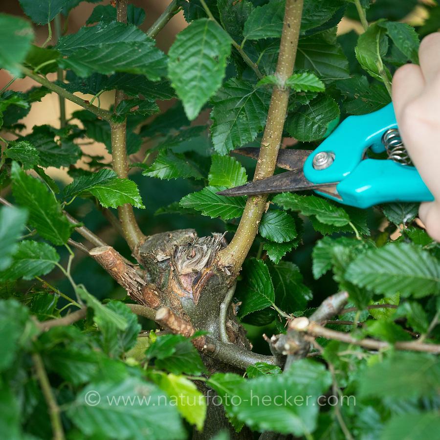 Astquirl in einer Hecke schneiden, um eine Nistmöglichkeit für ein Napfnest zu schaffen, Vogelnest, Nest, Hainbuchen-Hecke, Zweige eines Busches werden so geschnitten, dass sich ein Quirl als Unterlage für ein Nest bildet, Nistkörbchen