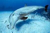 bottlenose dolphin, Tursiops truncatus (c-r), Roatan, Honduras (Caribbean)
