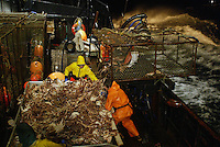 """10/20/03 crab NWS::  A pot of red king crab is dumped onto the sorting table of the F/V Exito where the crew will begin sorting out the legal sized males, 6.5 inches or larger. Thos crab are then tossed into one of 3 large tanks below deck filled with seawater and kept alive until the boat returns to Dutch Harbor, AK where they will be processed.  On a pot this size which had about 60 """"keepers"""", the crew estimates that a fullcrewshare guy would make about $100 per pot or a $1,000 per hour (at the pace of 10 pots per hour).  The bonanza lasted about 2 hours before the pots started coming up less full. The smaller crab, which are juveniles and females, are tossed back into the sea, a regulation dictated by the Alaska Department of Fish & Game to preserve future stocks.  This year's ADFG forecast of 14.7 million pounds was the largest projected harvest of Bristol Bay red king crab in 12 years.  It will be several weeks before crabbers know if that harvest was met.  The season lasted 5 days and 2 hours and was plagued with gale force winds of 35 knots or higher almost everyday."""