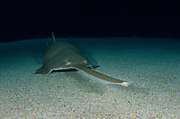 Green sawfish, Pristis zijsron, an inhbitant of salt, brackish and freshwater habitats in the Indo-Pacific Ocean from India to Australia.