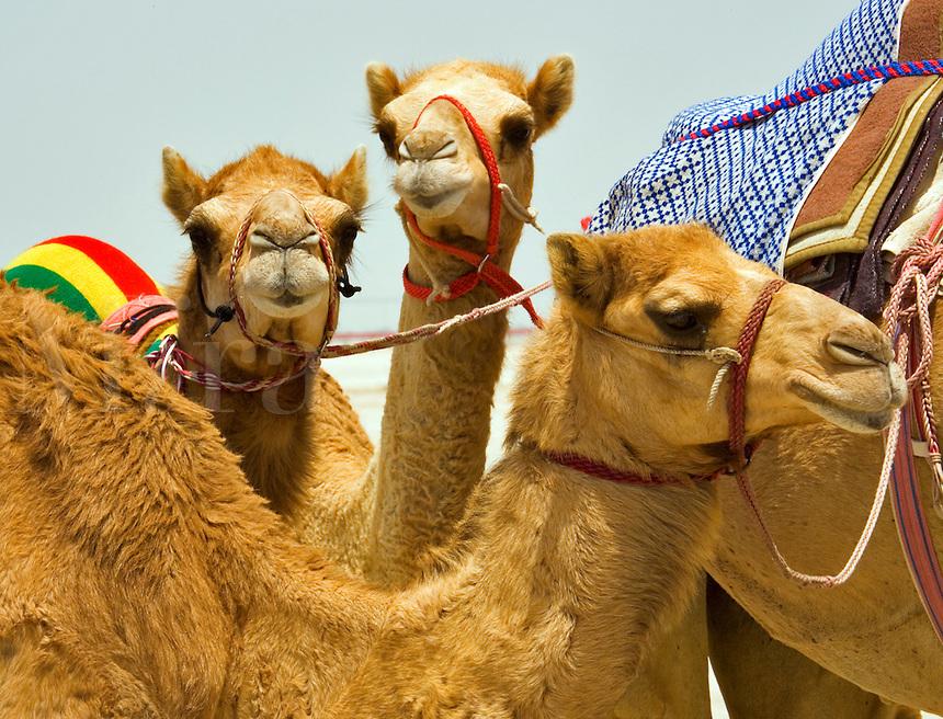Young racing camels.  Camelus Dromadarius.  Dubai. United Arab Emirates.